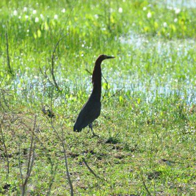 aves-bioma-pantanal